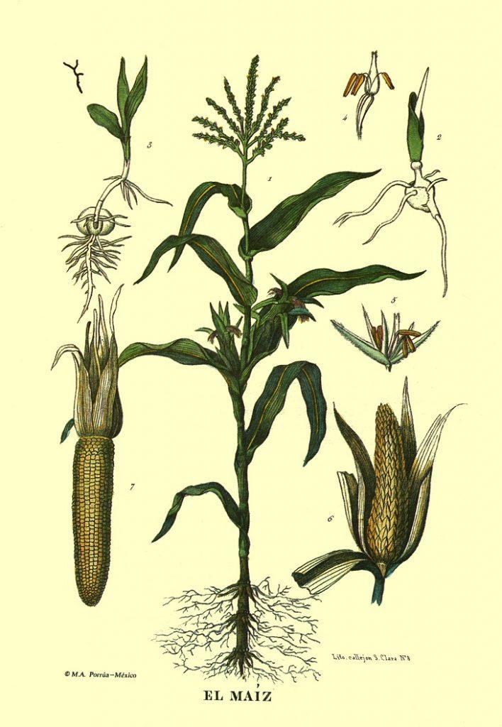 """El maíz, Libro """"Memoria sobre el cultivo del maíz"""". Biblioteca Fototeca Lorenzo Becerril A.C."""