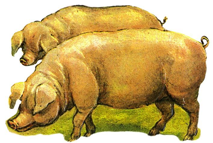 Cerdos, litografía. Centro de documentación de la Fototeca Lorenzo Becerril A.C.